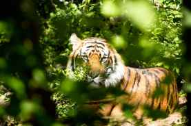 tiger-nature-zoo-wild-162306